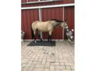Andalusian Cross Dressage Hunter AP Prospect