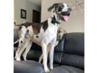Adopt Tyson a White - with Black Great Dane / Mixed dog in Minneapolis
