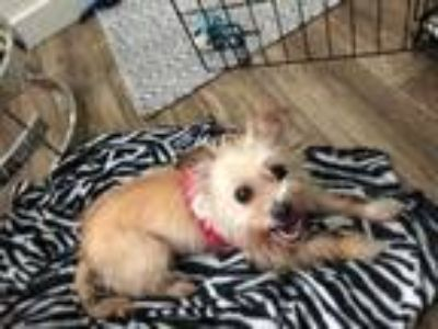 Adopt Gabby a Yorkshire Terrier