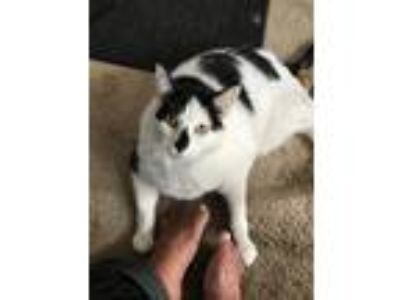Adopt Chuck a Black & White or Tuxedo Domestic Shorthair cat in Kansas City