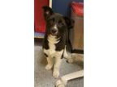 Adopt Bear a Border Collie, Siberian Husky