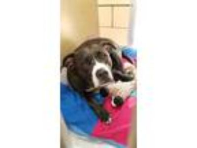Adopt Lucy a Pit Bull Terrier / Mixed dog in Homer Glen, IL (25347398)