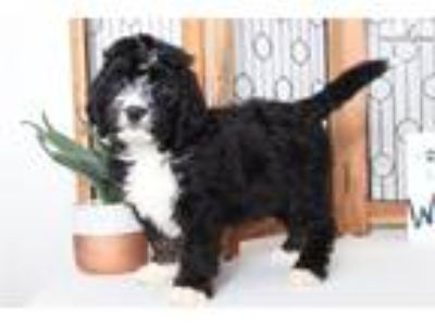 Dax- Handsome Tri-Colored Male CKC Bernedoodle