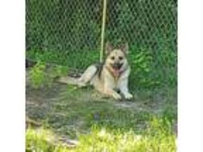 Adopt Gunter-i1888 a German Shepherd Dog