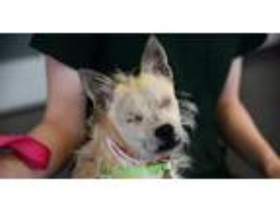 Adopt Snowy a Tan/Yellow/Fawn Terrier (Unknown Type, Medium) / Mixed dog in New