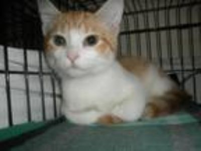Adopt Hobbes19 a Orange or Red Tabby Domestic Shorthair (short coat) cat in