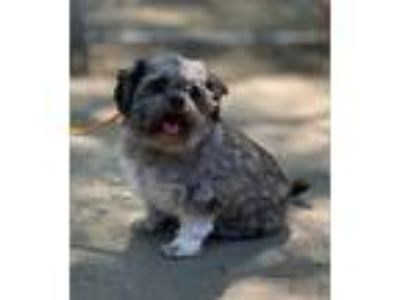 Adopt Cookie a Black - with Gray or Silver Shih Tzu / Mixed dog in San
