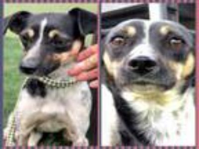 Adopt CHACO a Rat Terrier, Mixed Breed