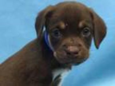 Adopt Brownie a Brown/Chocolate Hound (Unknown Type) / Mixed dog in Golden