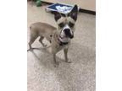 Adopt Lil Gal a Boxer / American Staffordshire Terrier / Mixed dog in Utica