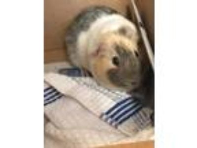 Adopt Snickers a Silver or Gray Guinea Pig / Mixed small animal in Clearwater