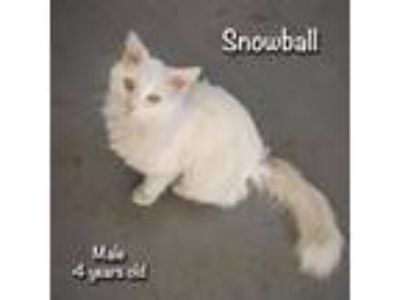 Adopt Snowball a Domestic Long Hair