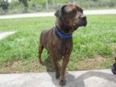 Adopt MAX a Brindle American Pit Bull Terrier / Mixed dog in Vero Beach