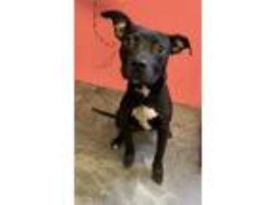 Adopt SPENCER a Pit Bull Terrier, Mixed Breed