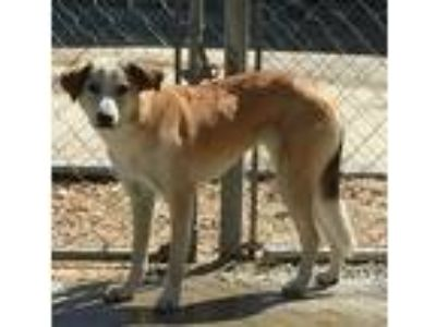 Adopt Howie Lane a Tan/Yellow/Fawn - with White German Shepherd Dog / Husky /