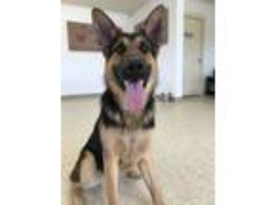 Adopt Blue a German Shepherd Dog
