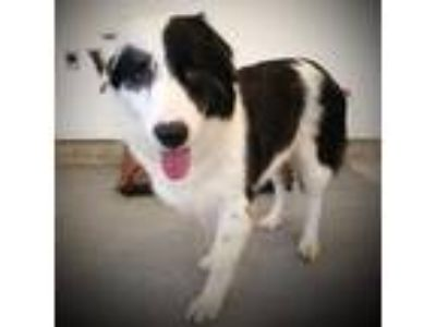 Adopt Bob Barker a Black - with White Great Pyrenees / Border Collie / Mixed dog