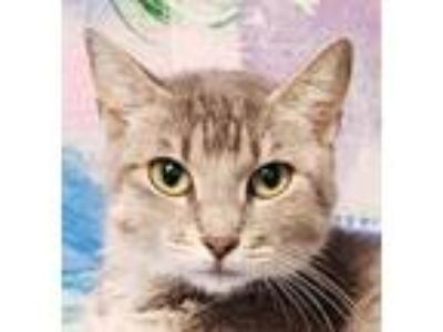 Adopt Buttons a Gray or Blue Domestic Shorthair / Domestic Shorthair / Mixed cat