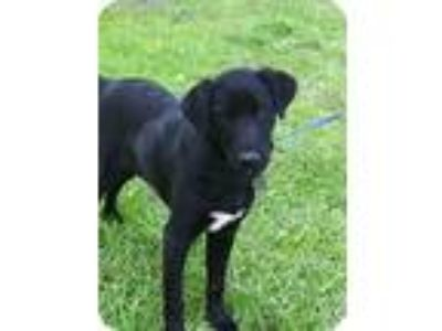 Adopt Little Fritter a Black - with White Labrador Retriever / Mixed dog in