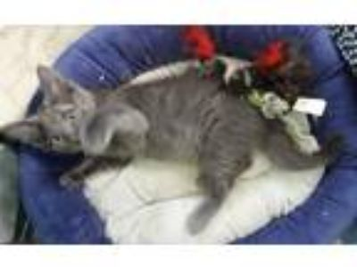 Adopt Nico a Gray, Blue or Silver Tabby Russian Blue (medium coat) cat in Delray