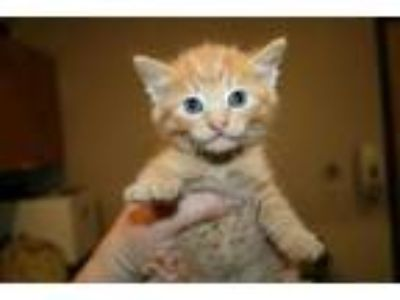 Adopt JODIE a Orange or Red Tabby Domestic Shorthair / Mixed (short coat) cat in