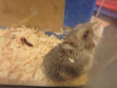 Adopt LITTLE SMOKEY a Silver or Gray Hamster / Mixed small animal in Van Nuys