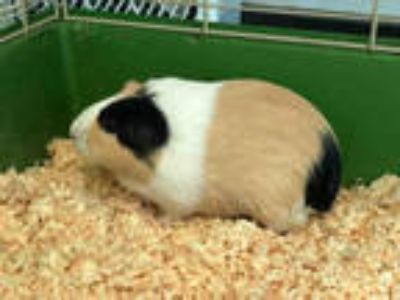 Adopt LILLY a Tan or Beige Guinea Pig / Mixed small animal in Los Angeles