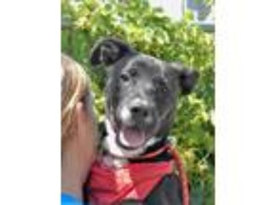Adopt Kayla a Black - with White Labrador Retriever / Mixed dog in New York