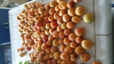 APRICOTS ARE READY