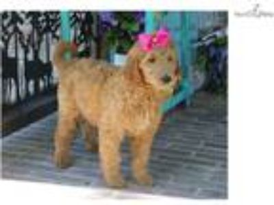Dolly-GORGEOUS Female Goldendoodle Puppy!!!!