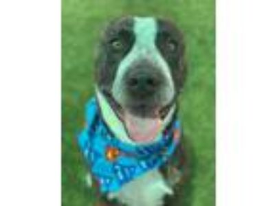 Adopt Kiro a Brindle American Pit Bull Terrier / Mixed dog in Jacksonville