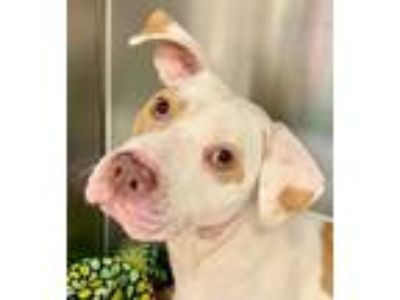 Adopt Gypsy a Tan/Yellow/Fawn Terrier (Unknown Type, Small) / Mixed dog in