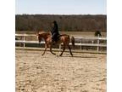 4 yr old red dun appy mare