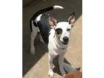 Adopt Beaux a Australian Cattle Dog / Blue Heeler, Border Collie