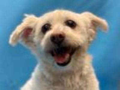 Adopt Rolla a White Bichon Frise / Terrier (Unknown Type