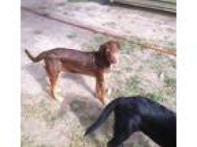 Adopt Reece a Labrador Retriever, Doberman Pinscher