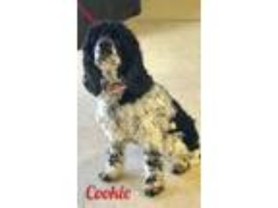 Adopt Cookie CG in MS a Cocker Spaniel