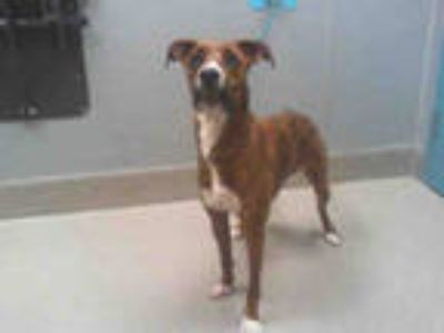 Adopt *ERIKA a Brindle - with White American Pit Bull Terrier / Mixed dog in Las
