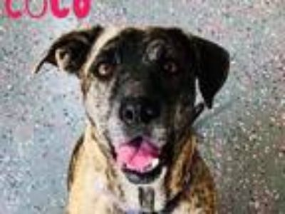 Adopt Coco a Merle Pit Bull Terrier / Mixed dog in Wichita, KS (23767044)