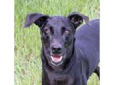 Adopt Azabache a Black Retriever (Unknown Type) / Mixed dog in Loxahatchee