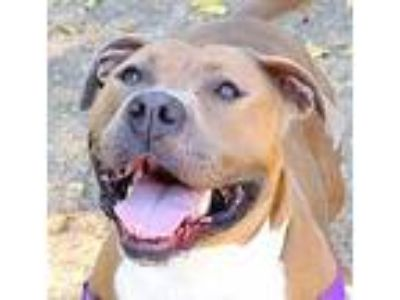 Adopt June Bug a American Pit Bull Terrier / Mixed dog in Oakland, CA (25858500)