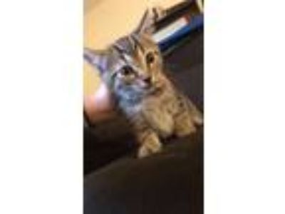 Adopt Kitten-Moshi a Gray, Blue or Silver Tabby Domestic Shorthair cat in