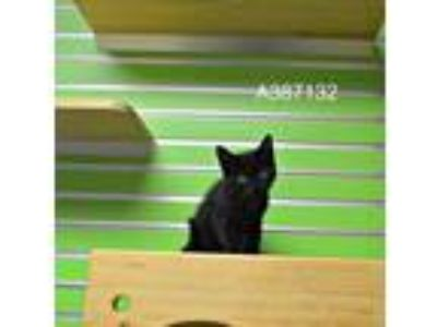 Adopt a Black (Mostly) Domestic Shorthair / Mixed (short coat) cat in St.