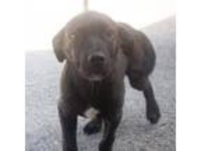 Adopt Barron a Black Labrador Retriever, Mixed Breed