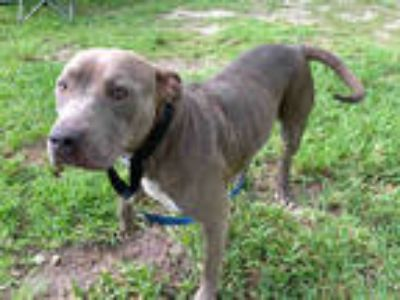 Adopt IGUANA a Brown/Chocolate - with White American Staffordshire Terrier /