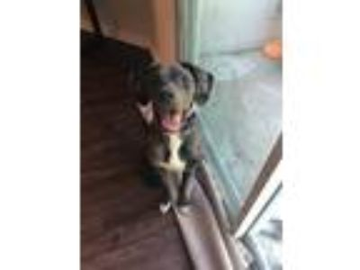 Adopt Callie a Black - with Gray or Silver Catahoula Leopard Dog / Mixed dog in