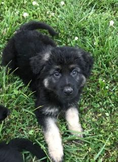 German Shepherd Dog PUPPY FOR SALE ADN-76407 - German Shepherd Pups