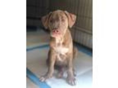 Adopt Ted a Merle Catahoula Leopard Dog / Labrador Retriever / Mixed dog in