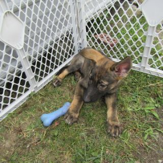 German Shepherd Dog PUPPY FOR SALE ADN-87925 - German Shepherd Pup
