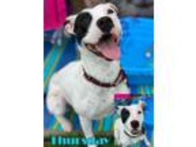Adopt Thursday a Terrier, Pit Bull Terrier